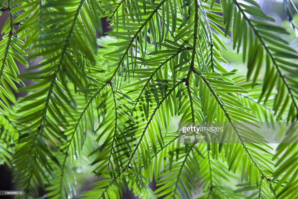 Redwoods Jedidiah State park : Stock Photo