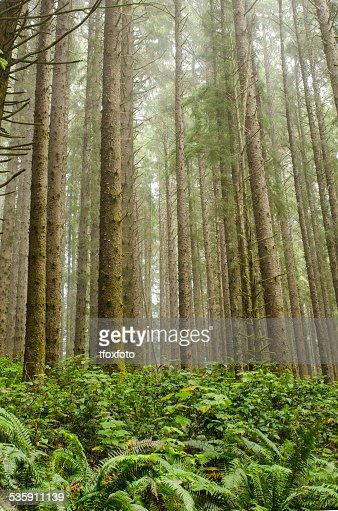 Redwoods : Foto de stock
