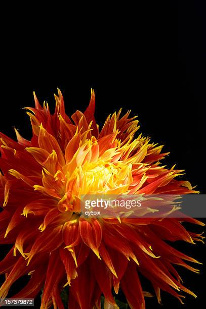 Red-yellow dahlia flower