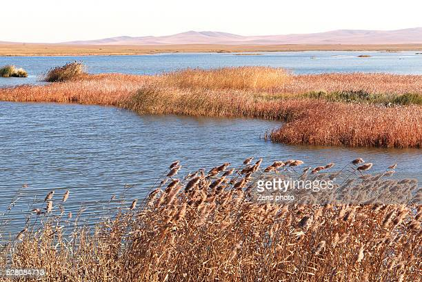 reed and lake in autumn