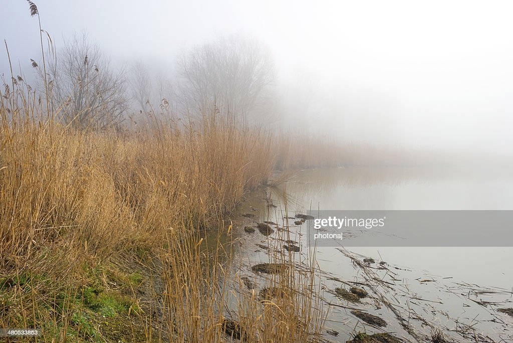 Reed bed along a lake in a foggy winter : Stock Photo