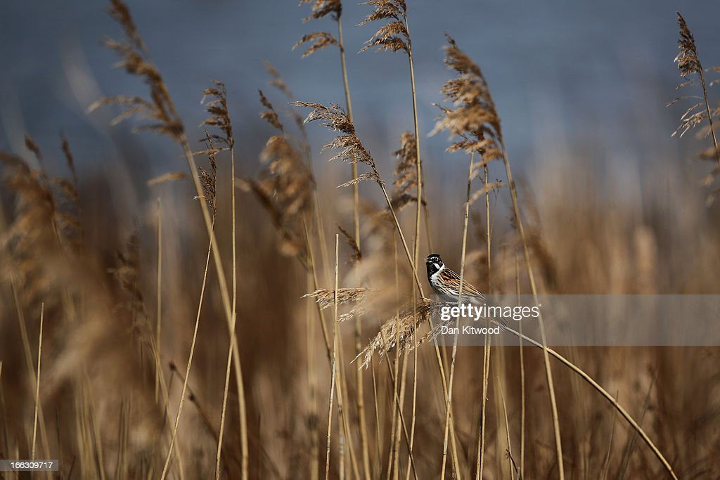 A Reed Bunting sits in reeds at Elmley Marshes on April 7, 2013 in Sheerness, England. Many migrant species from continental Europe and North Africa will likely be arriving on UK shores as the prolonged cold climate that has gripped much of Britain recently makes way for milder and more seasonable weather. The RSPB's Elmley Marshes lies on the Isle of Sheppy, and is managed by the Elmley Conservation Trust. The three and a half acre reserve has the highest density of breeding waders in southern England including Avocet and Redshank. The area is also known to be one of the best sites in the UK to view birds of prey which include Peregrine Falcon, Marsh and Hen Harriers, Rough Legged Buzzards and Short Eared Owl.