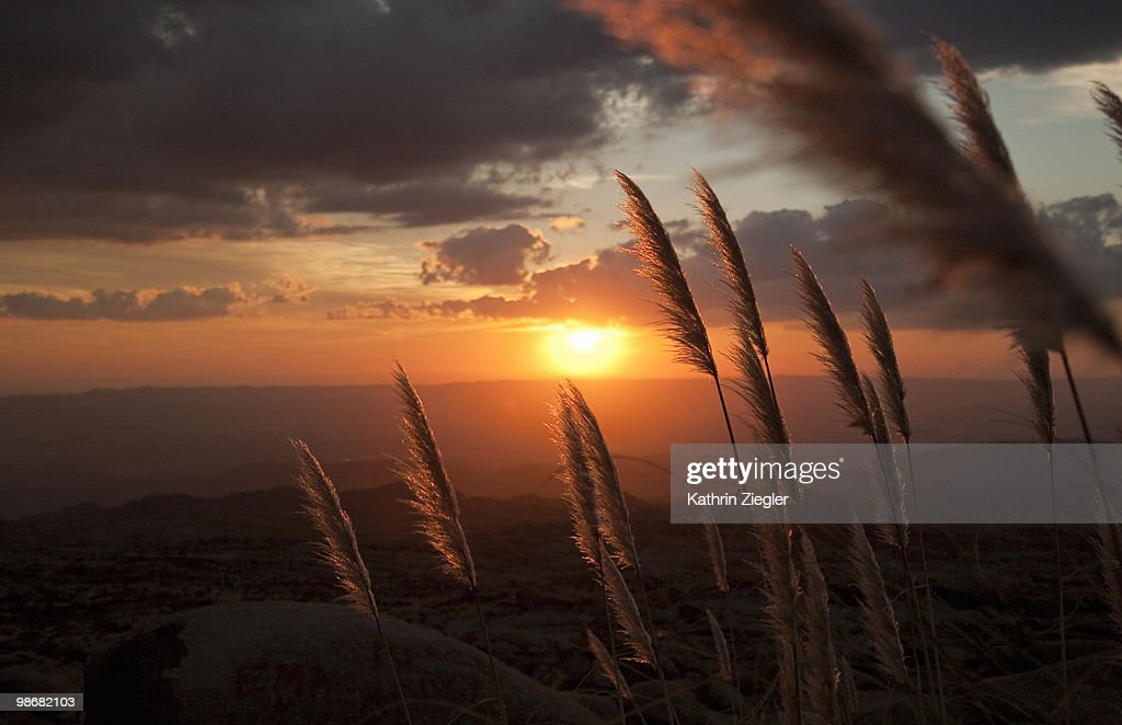 reed grass lit by sunset : Stock Photo