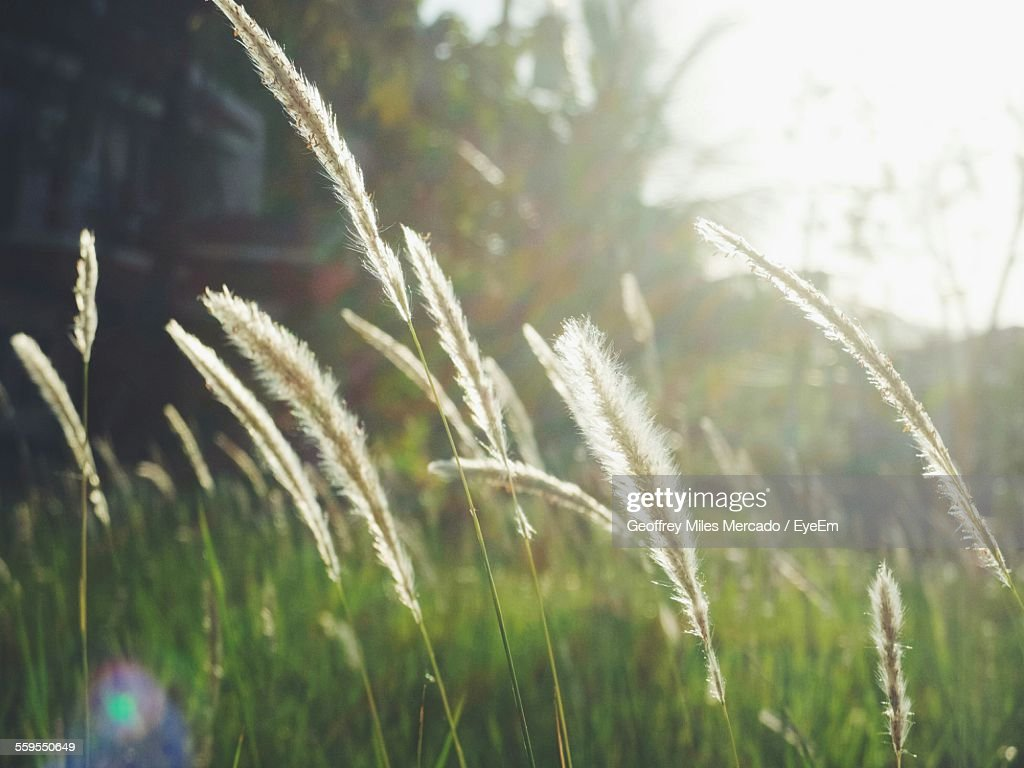 Reed Growing On Field Against Sky