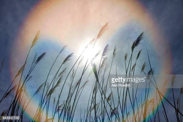 Reed Plants With Sun & Rainbow Flare