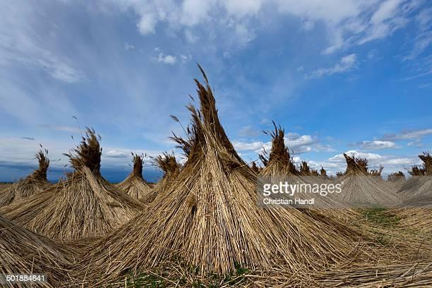 Reed put up for drying, Seewinkel, Apetlon, Burgenland, Austria