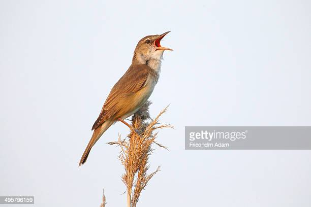 Reed Warbler -Acrocephalus arundinaceus-, male singing on a reed stem, Illmitz, Burgenland, Austria