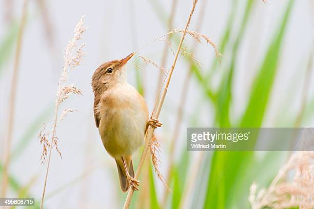 Reed Warbler -Acrocephalus scirpaceus- perched on bulrush, North Hesse, Hesse, Germany