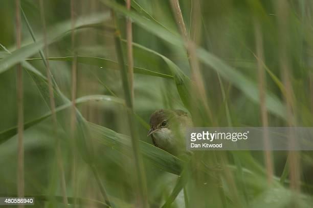 Reed Warbler sings in a reedbed on the RSPB's Wallasea Island Reserve on July 13 2015 near Rochford England Wallasea Island Wild Coast project has...