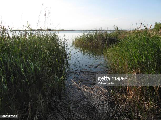 Reeds and rushes on the bank of lake in the Albufera of Valencia the Albufera of Valencia this Natural Park located in the vicinity of Valencia is...