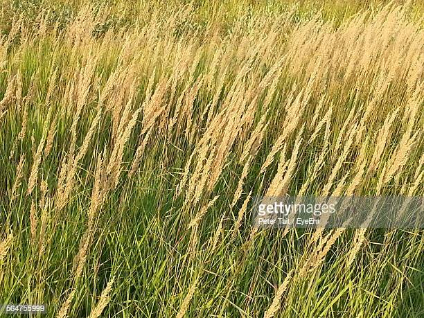 Reeds Growing In Field