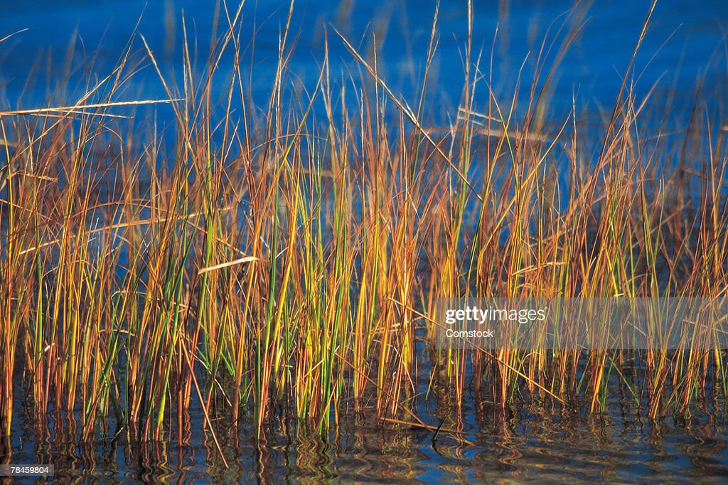 Reeds in water in Plymouth County, Massachusetts