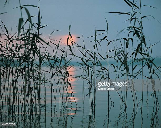 Reeds, water and sunset
