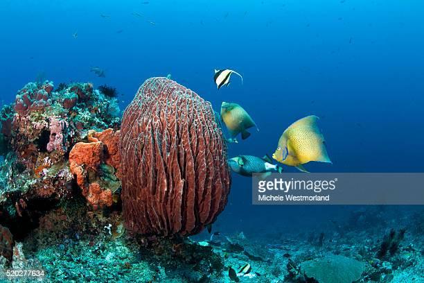 Reef Fish Feeding on Barrel Sponge
