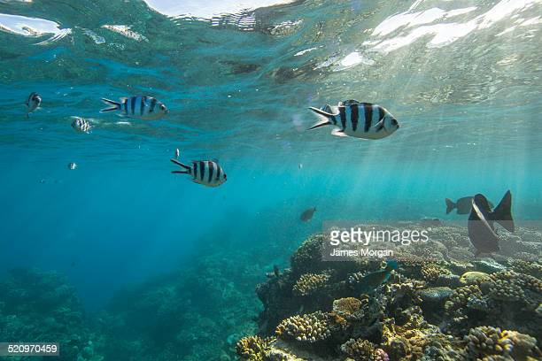 Reef fish on the Great Barrier Reef
