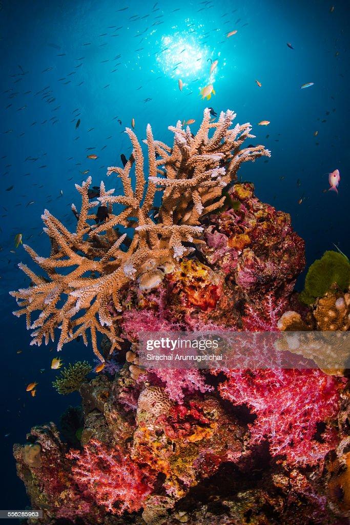 Reef Scene at Anita's Reef, Similan Islands.