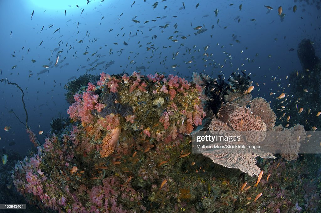 Reef scene with coral and fish, Puerto Galera, Negros Oriental, Philippines.