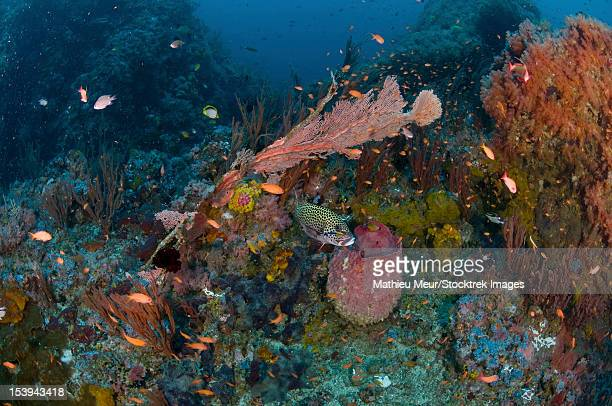 Reef scene with corals and fish, Puerto Galera, Negros Oriental, Philippines.