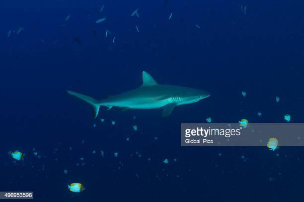 Reef Shark - Palau, Micronesia