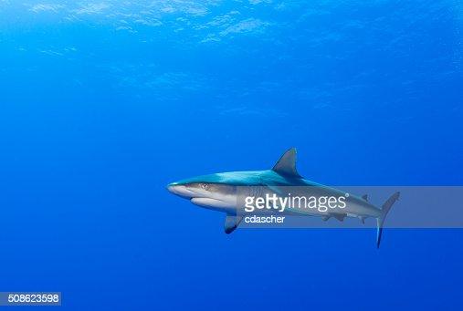 Reef Shark : Stock Photo