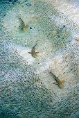 Blacktip reef sharks swimming through  a shoal of fish, Lankayan Island, Sabah, Borneo.