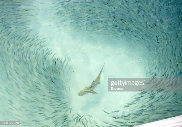 Reef Shark Swimming Around School of Fish