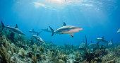 Reef Sharks And Sun Rays