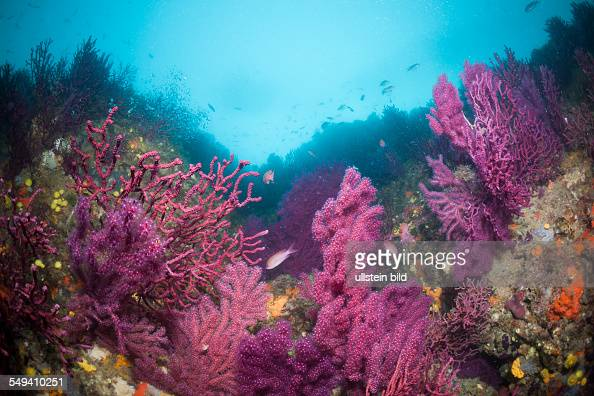Reef with variable Gorgonians Paramuricea clavata Cap de Creus Costa Brava Spain