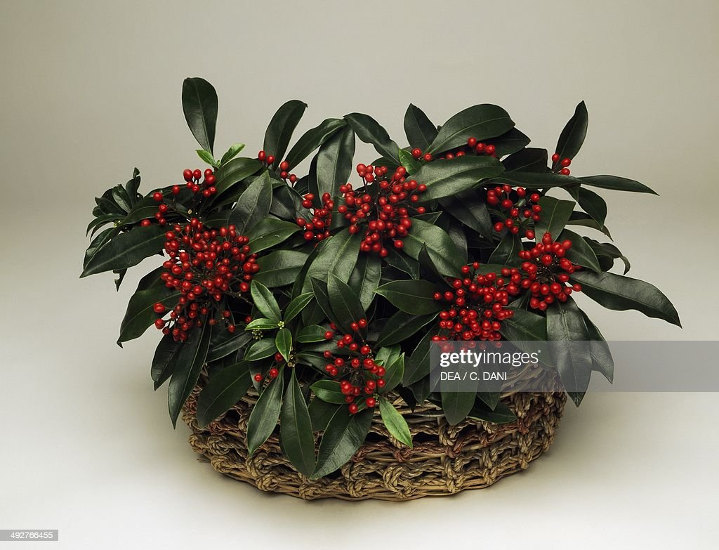 Reeves japanese skimmia (Skimmia japonica reevesiana), Rutaceae.