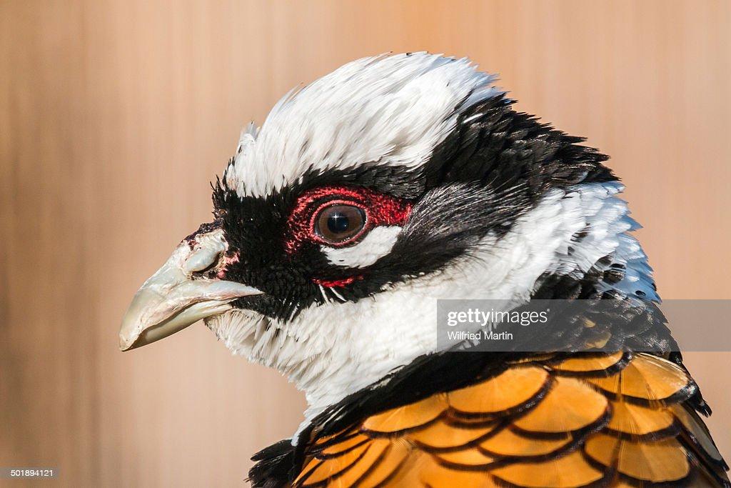 Reeves's Pheasant -Syrmaticus reevesii-, portrait, captive, Slovakia