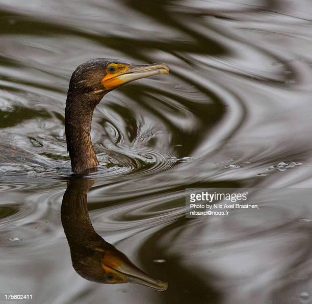 Reflecting cormorant