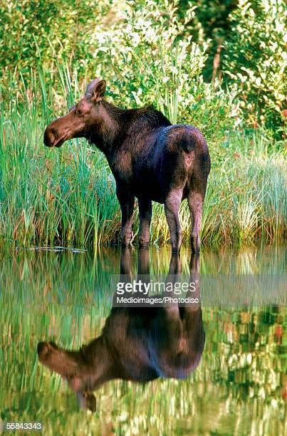 Reflection of a Cow Moose in water, Alaska, USA