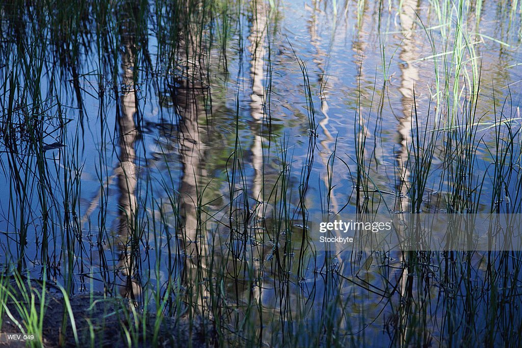 Reflection of birch trees on water : Stock Photo