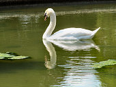 Reflection Of Swan Swimming In Lake