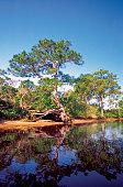 Reflection of trees in a river, Loxahatchee River, Jonathan Dickinson Park, Jupiter, Florida, USA
