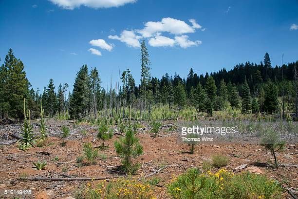 Reforestation after a wildfire