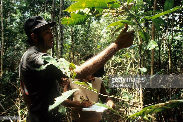 RESERVE XAPURI ACRE BRAZIL Reforestation in Amazon rain forest Chico Mendes Extractive Reserve dwellers manage Brazil nut tree growth Raimundo Barros...