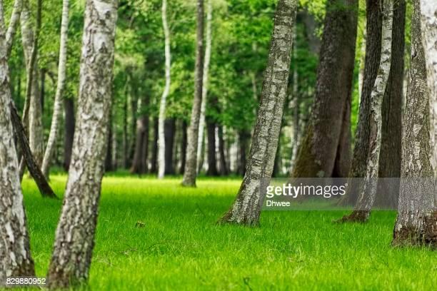 Refreshing Birch Forest In Spring