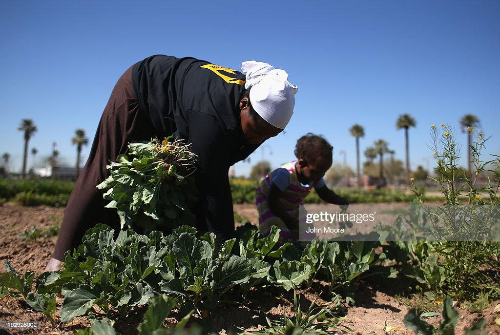 A refugee from the Democratic Republic of Congo harvests collard greens as part of the New Roots Program held by the International Rescue Committee (IRC), on March 1, 2013 in Phoenix, Arizona. The program is designed to help refugees, many of whom were farmers in their homeland, integrate into their new lives in America. New Roots, like many federally-funded programs, may be greatly cut back due to federal sequestration cuts. The IRC is a non-profit humanitarian aid organization that aids refugees and survivors of international conflict. They assist new arrivals, many of whom come from refugee camps and war zones, to adjust to American society after being granted refugee status and invited by the U.S. government to live in the United States. The IRC also assists refugees through the immigration and naturalization process to become U.S. citizens.