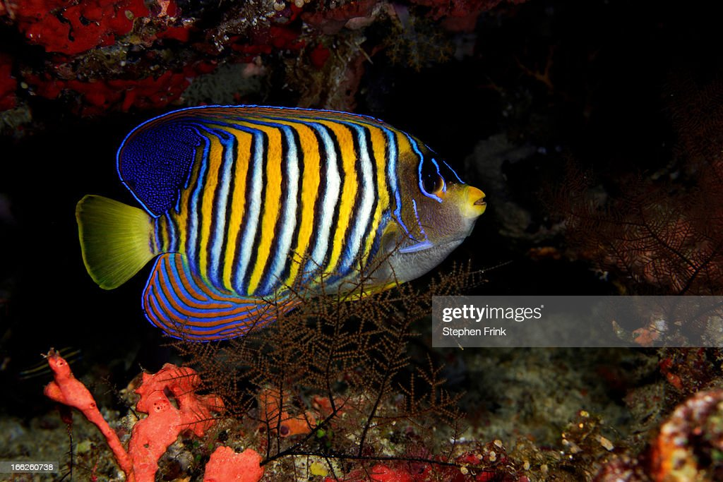 Regal angelfish on coral reef : Stock Photo