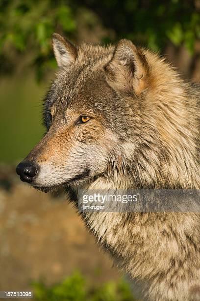 Regal gray wolf portrait in summer.