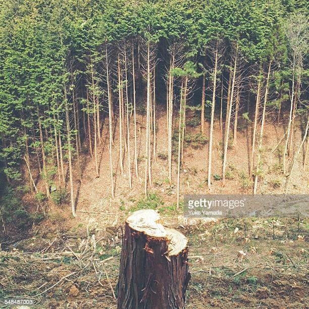 Regeneration forest