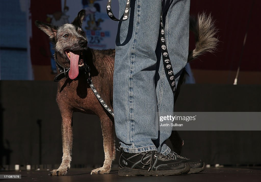 Reggie , a Peruvian mix, walks on stage during the 25th annual World's Ugliest Dog contest at the Sonoma Marin Fair on June 21, 2013 in Petaluma, California. Walle, a basset and beagle mix won the honor of being the world's ugliest dog.