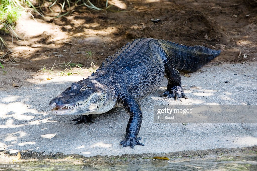 'Reggie the Alligator' debuts at the Los Angeles Zoo The wily reptile eluded capture for nearly two years as he lurked in a Harbor City lake becoming...