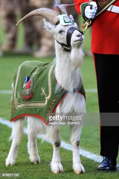 A regimental goat