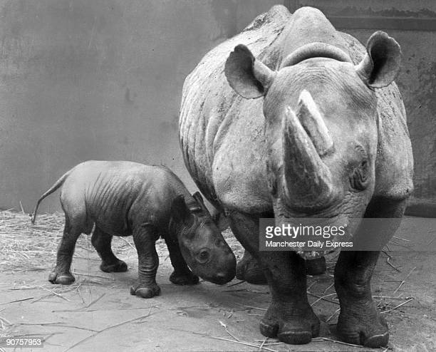 �Reginald weighing 100 lbs and measuring 32 inches long and 20 inches high was the first black rhino to be born at Chester Zoo The fourth to be born...
