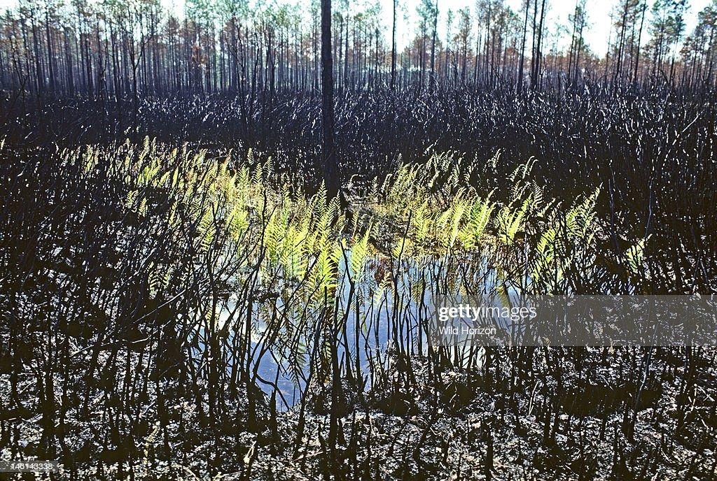 Regrowth of bracken ferns in Okefenokee Swamp after a fire, Pteridium species, Okefenokee Swamp, southeastern Georgia, USA,