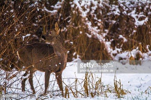 Reh im Winter : Stock Photo