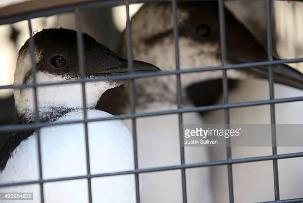 Rehabilitated Common Murres sit in a crate before being released into the San Francisco Bay on October 23 2015 in Sausalito California The...