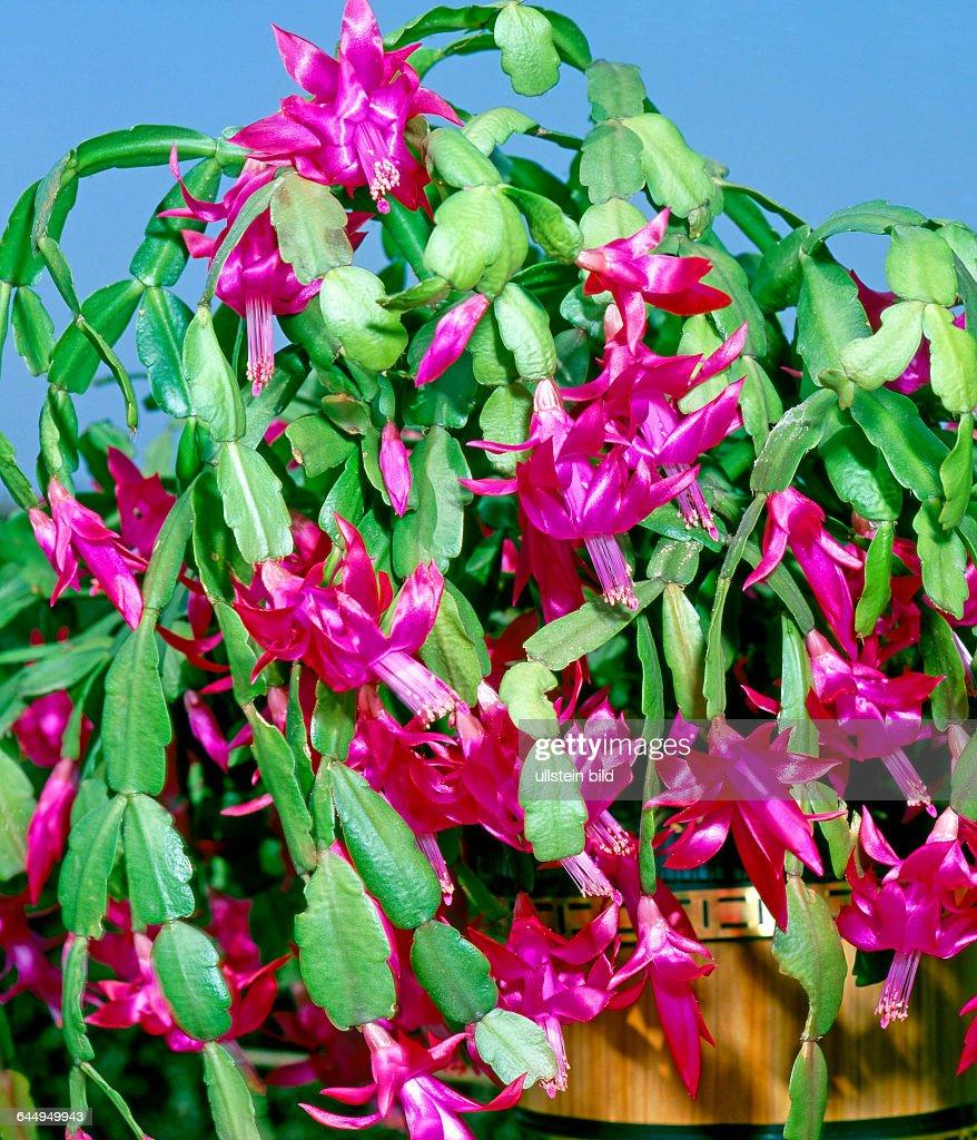 Reich bluehender Weihnachtskaktus auch Osterkaktus ein Gliederkaktus botanisch Schlumbergera truncata frueher Zygocactus truncatus